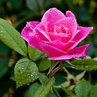 Just simply a rose by Gideon van Zyl