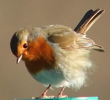 Fluffy Robin by steveransome