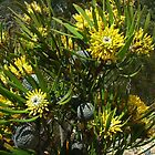 An aberrant form of Isopogon anemonifolius with entire leaves by orkology