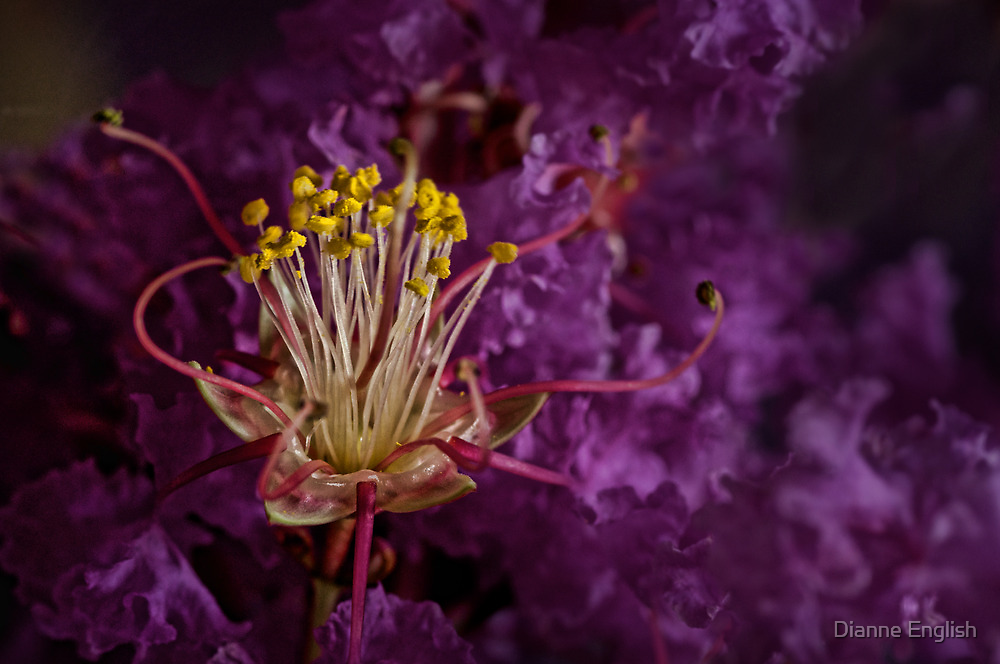Crepe Myrtle Charisma by Dianne English