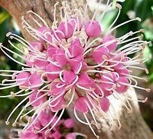 Little Evodia flower by Margaret  Hyde