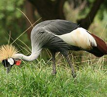 Honolulu Zoo: The Grey Crowned Crane  by Kezzarama