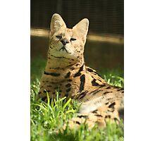 Honolulu Zoo: The Serval Photographic Print