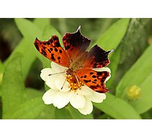 Question Mark Butterfly on Flower Photographic Print
