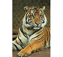 Honolulu Zoo: Sumatran Tiger Photographic Print