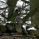 Little Owl/non captive by Trevor Kersley