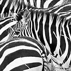 Zebra Abstract by Malcolm1841