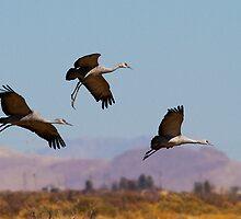 021111 Sandhill Cranes by Marvin Collins