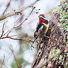 Woodpecker Yellow Bellied by Pat Moore