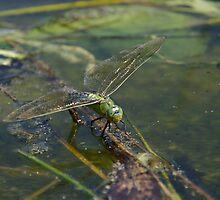 On Golden Pond by David Morgan