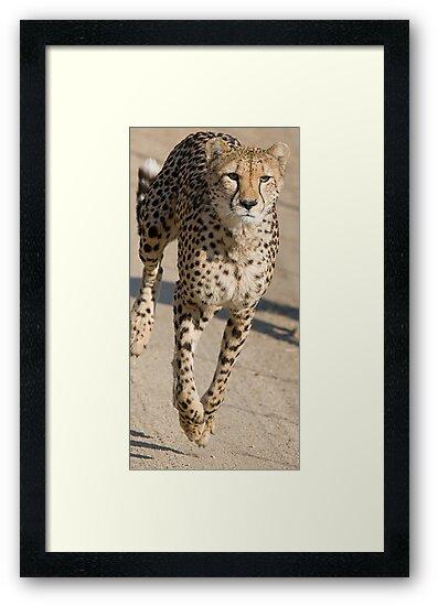 Cheetah On the Run by Michael  Moss