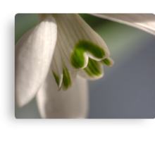 The Snowdrop a Signpost to spring. Canvas Print