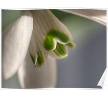 The Snowdrop a Signpost to spring. Poster