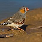 Zebra Finch by Simon Bennett
