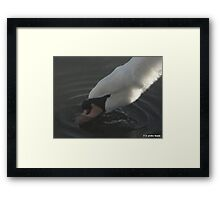 SWAN DRINKING WATER Framed Print