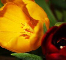 Tulip x2 by Brenda Boisvert