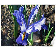 Small Blue Iris Poster