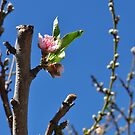 Peach Blossom by ellc