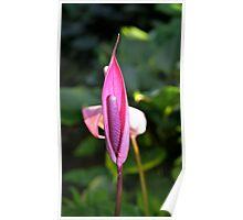Purple Anthurium Poster