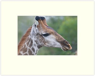 Young Male Giraffe by Michael  Moss