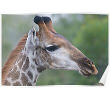 Young Male Giraffe Poster