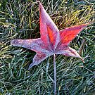 Maple Leaf in the Morning Frost by Randall Nyhof