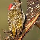 Bearded Woodpecker by Michael  Moss