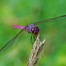 Purple Dragonfly by Diane Blastorah