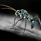 Blue wasp by Steve  Woodman