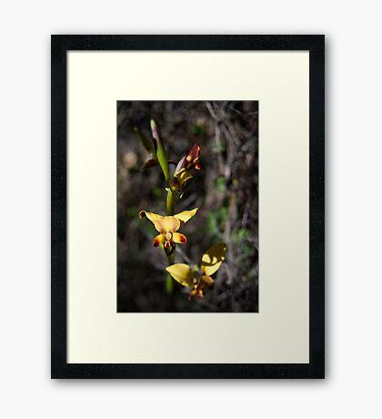 Donkey Orchid, Western Australia Framed Print
