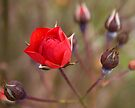 Red Rose Bud by Deborah McGrath