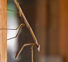 Praying Mantis by Ben Breen