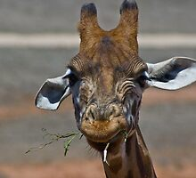 one grumpy giraffe by paul erwin