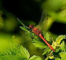 dragonfly by chrisdeschepper