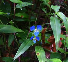 Scurvy weed, Commelina cyanea by orkology