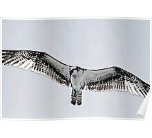 Osprey Art Poster
