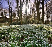Snowdrop Woods by Angie Latham