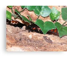 Madagascan Hissing Cockroach (Gromphadorhina portentosa) Canvas Print