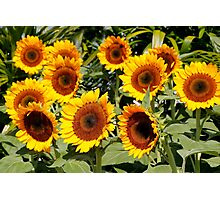 Sunflower Cluster Photographic Print