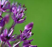 Lilac Flowering Onion by Hilda Rytteke