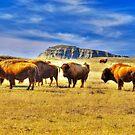 Where the Buffalo Roam by Bruce Taylor