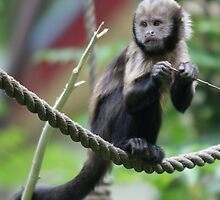 Yellow-breasted capuchin monkey by Lindie Allen