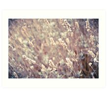 Dried Lavender Art Print