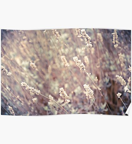 Dried Lavender Poster