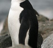 Chinstrap penguin by rhallam