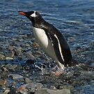 Gentoo penguin by rhallam