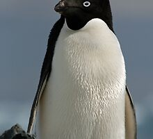 Adelie penguin by rhallam