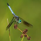 Blue Dasher by Steve Borichevsky