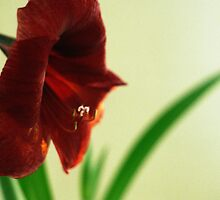 Red Flower by hmartinphotos