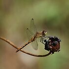 Female Meadowhawk by Steve Borichevsky
